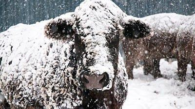6 Essentials to Keep Cattle Healthy & Happy Through Winter