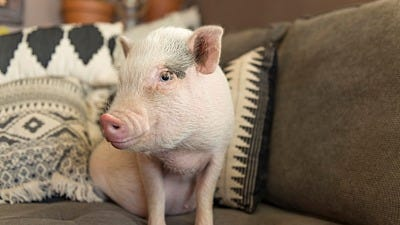 information on pigs as pets