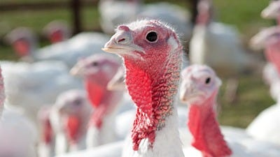 Facts about Turkey Farming