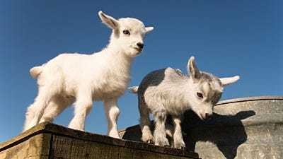 Get to know: The Pygmy Goat