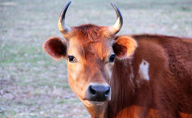 Cattle are the Best Livestock for Small Farms