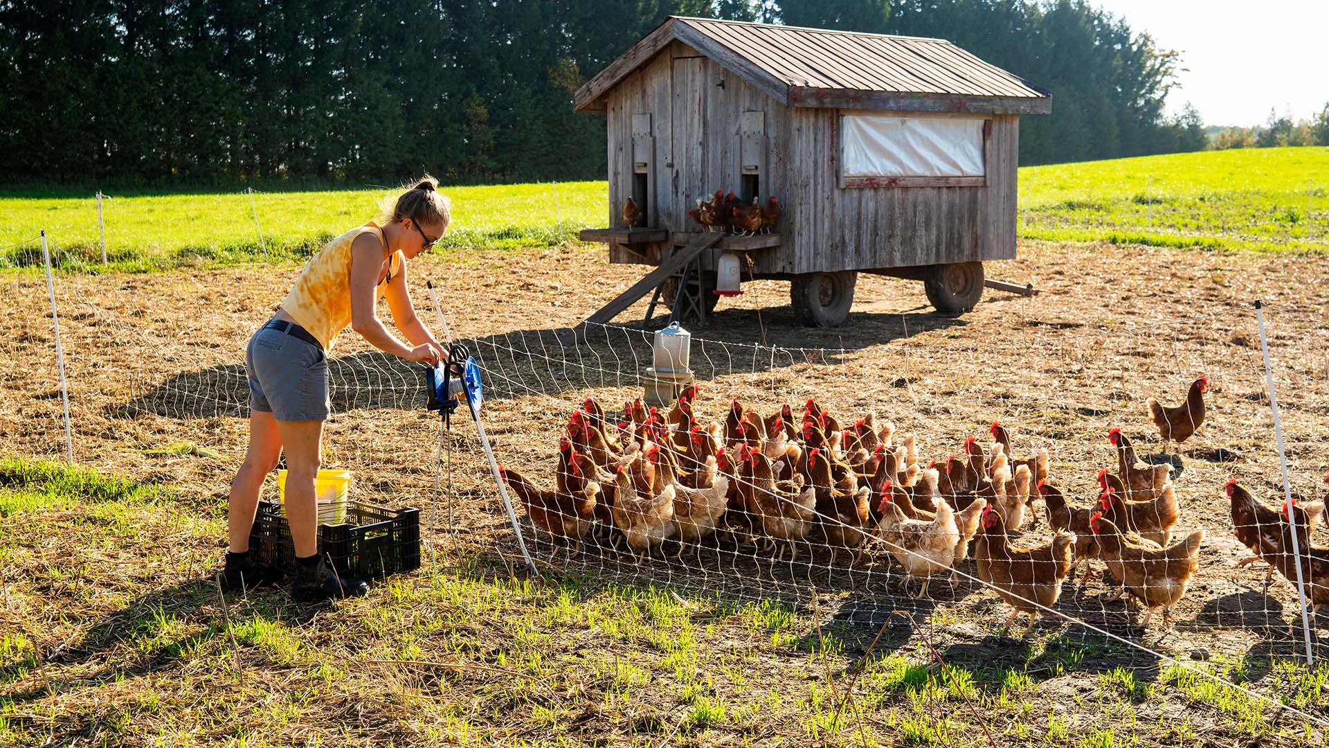 feeding chickens on the farm