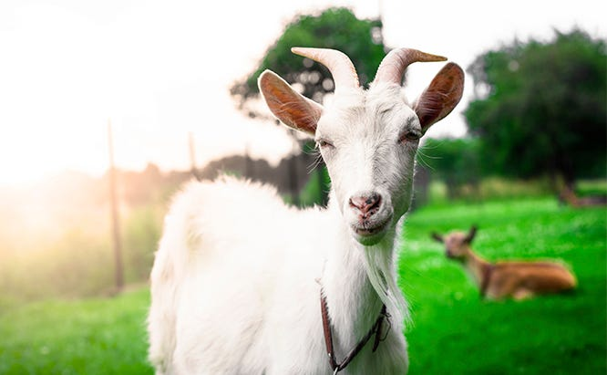 Goats on Small Farms