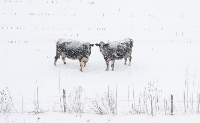 cows in snow1