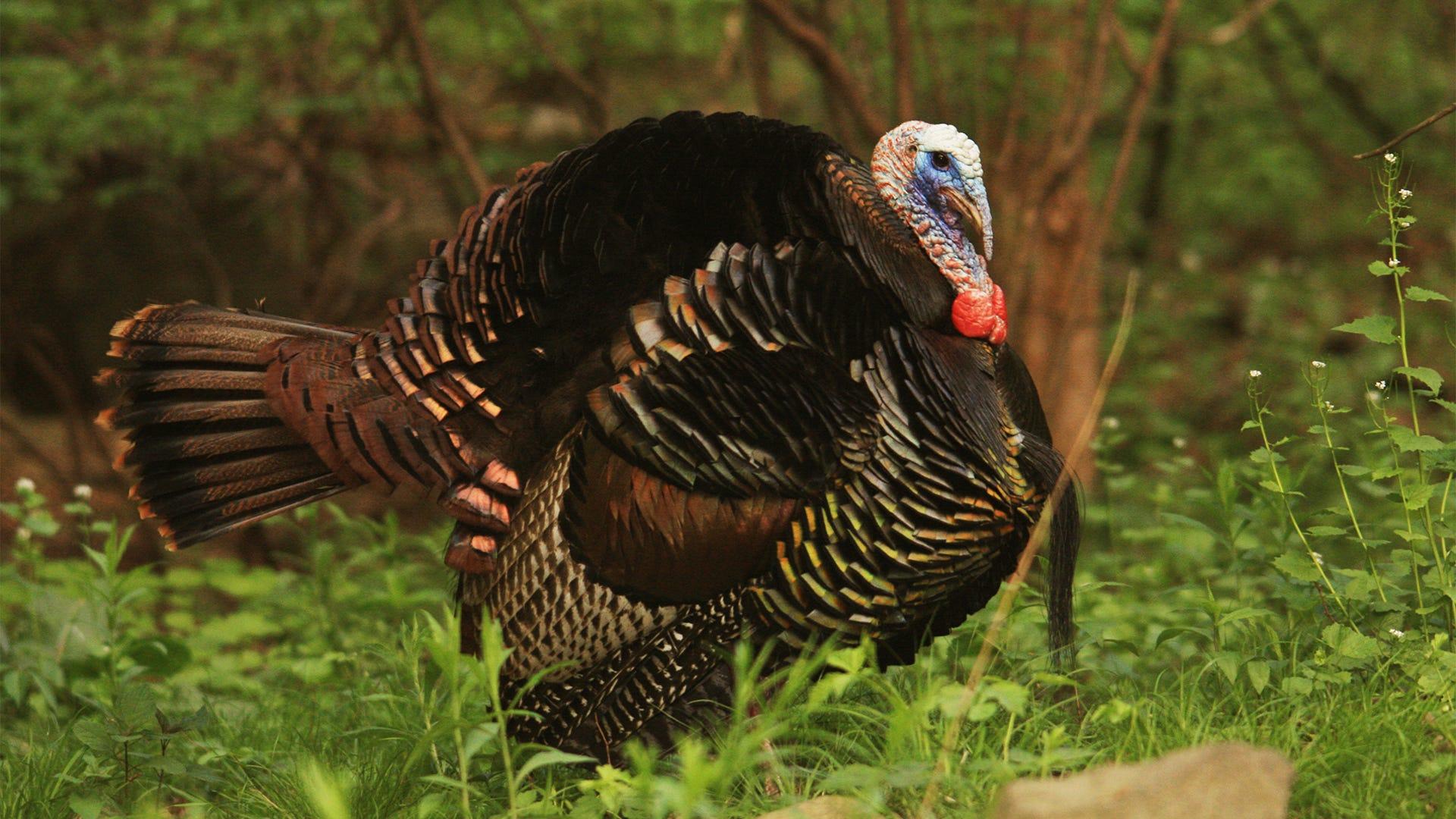 Get to Know: The Turkey